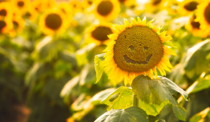 Tips for Visiting the Sunflowers at Grinter Farms Lawrence Kansas